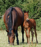 Cleveland Bay with foal